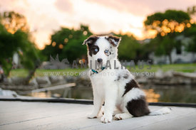 border color puppy on waterfront dock