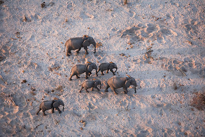 Aerial view of African elephant family (Loxodonta africana) traveling through parched landscape during drought conditions, No...