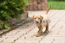yellow lab puppy walking down front path