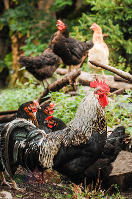Austria, St. Martin, free-range rooster with hens on farm