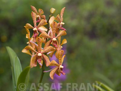 Malaysia, Borneo, Close-up of orchid flower with burgundy spots