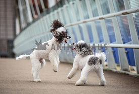 Toy Poodles playing on city bridge