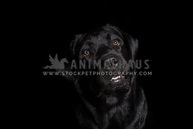 black Labrador on black background with funny begging facial expression