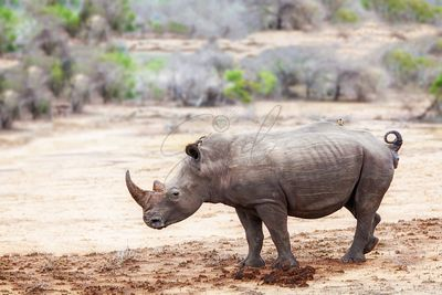 Rhino With Bird on Back in South Africa