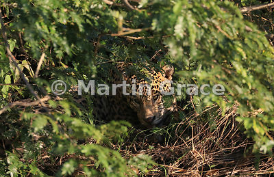 Male Jaguar (Panthera onca) known as Marley deep in the undergrowth, River Cuiabá, Northern Pantanal, Mato Grosso, Brazil