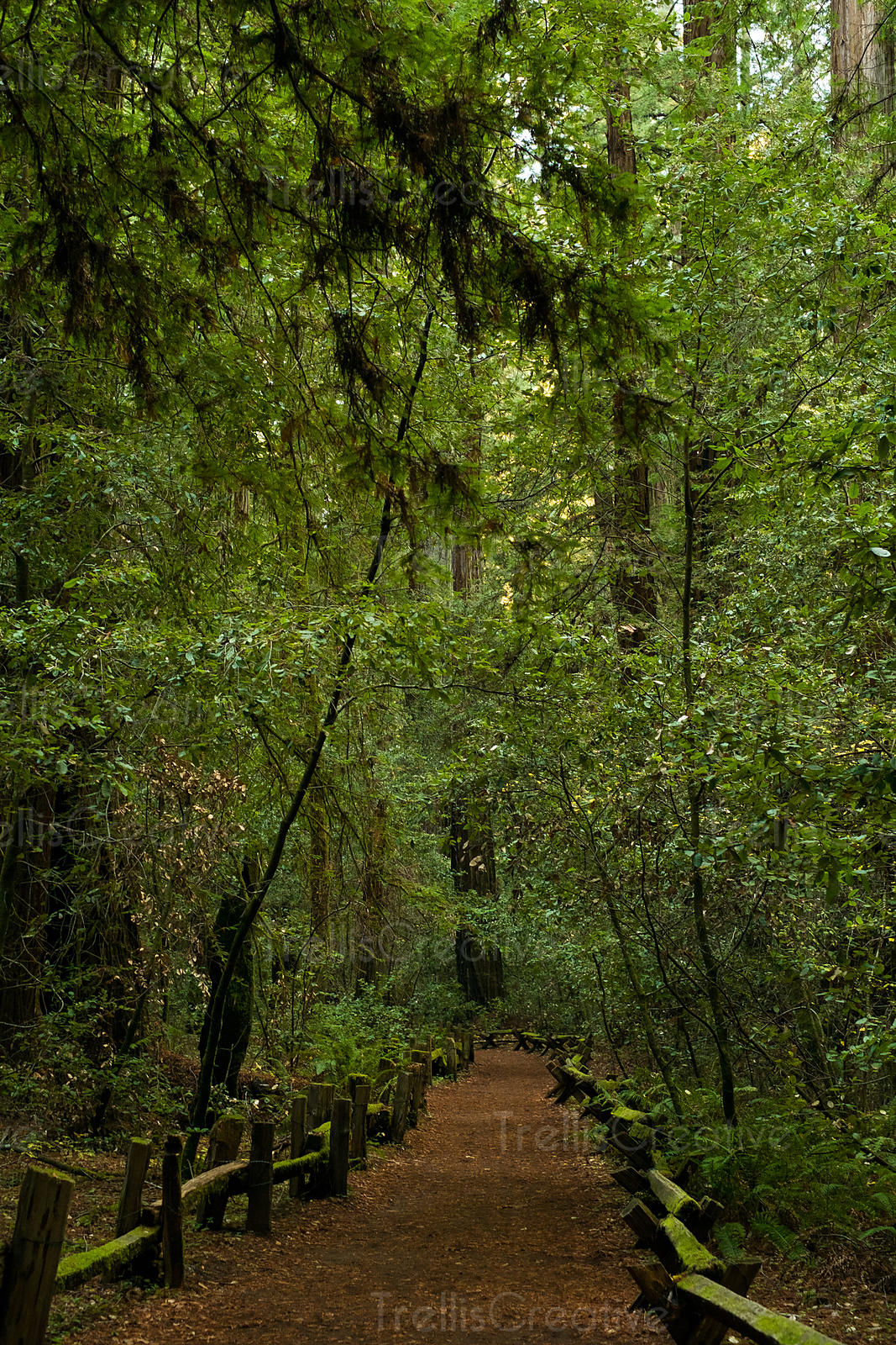 A hiking trail through the dense Redwood forest