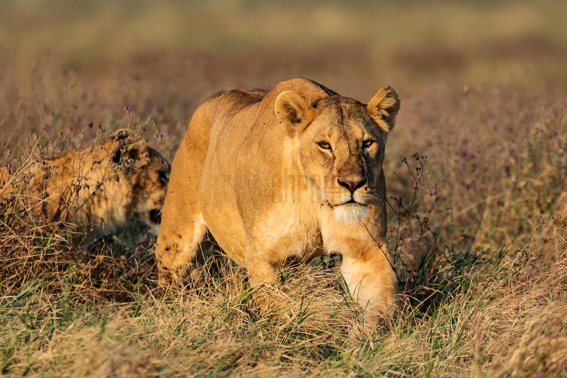 A Lioness in Long Grass Walks Towards the Camera