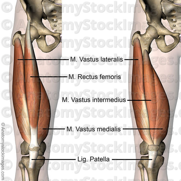 Anatomy Stock Images | knee-muscles-musculus-quadriceps ...