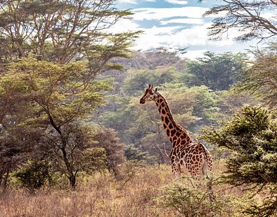 Rothschild Giraffe in Lake Nakuru Kenya