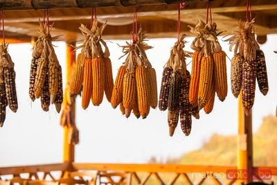 Corn drying outdoor in harvesting season, China