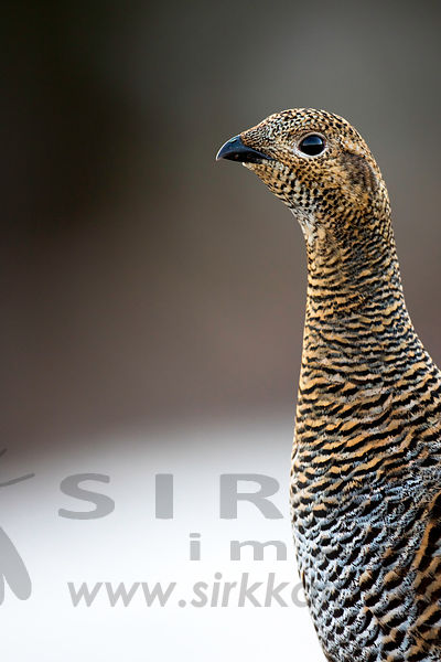 Female Black Grouse