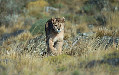 Puma sighting at Torres del Paine
