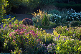 Early morning light picks out flowers of sedum in Ruth's Garden
