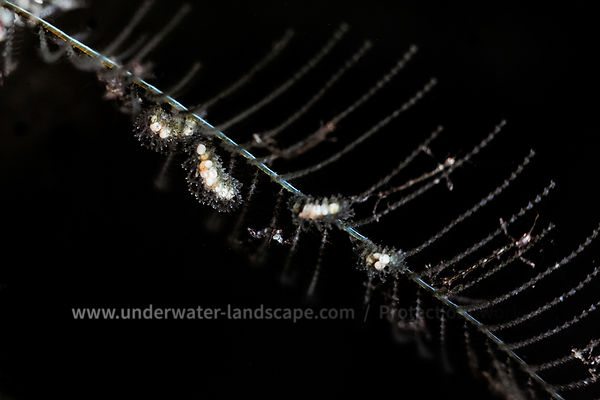 Hydraire and Skeleton shrimp