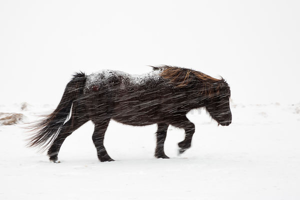 Icelandic Horse Walking in a Snow Storm