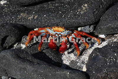 Adult Sally Lightfoot Crab (Grapsus grapsus), Sombrero Chino, Galapagos
