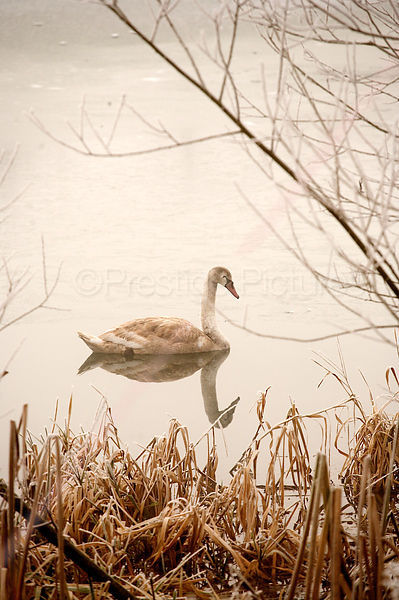 Cygnet on a winter's Morning Swim