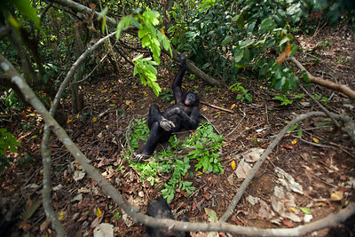 Bonobo (Pan paniscus) looking down on mature male 'Tembo' lying on the forest floor, Lola Ya Bonobo Sanctuary, Democratic Rep...