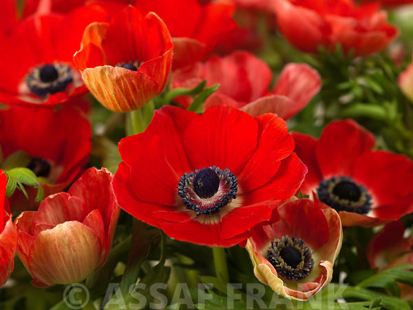 Anemone flowers close-up