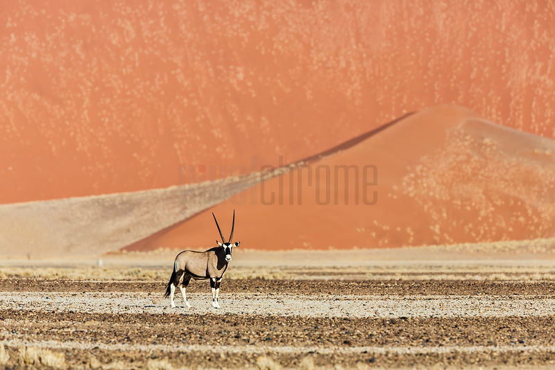 Gemsbok in Tsauchab River Bed