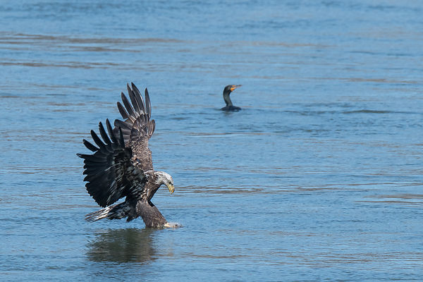 Eagle-Fishing-0841