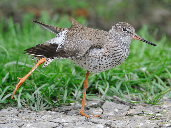 Common Redshank stretching the leg