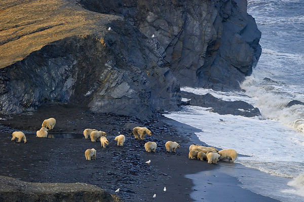 Polar bear (Ursus maritimus) group on beach, with many crowding round carcass, Wrangel Island, Far Eastern Russia, September.
