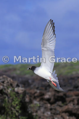 Swallow-Tailed Gull (Larus furcatus) banking with tail feathers spread as it flies away, Darwin Beach, Genovesa, Galapagos Is...