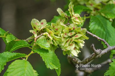 ELM 13A - Wych elm fruits