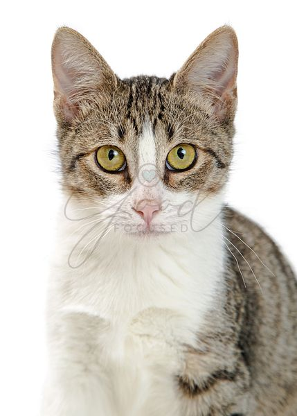 Closeup Tabby and White Cat Looking Forward