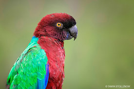 Red Shining Parrot, Fiji
