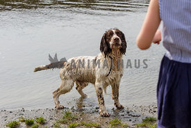 spaniel playing fetch with girl in water