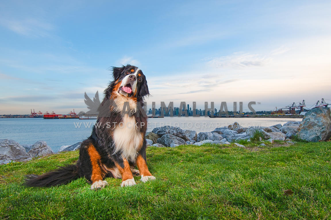 bernese mountain dog with head tilt while sitting in grass in front of Vancouver skyline