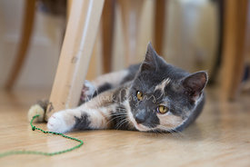 Calico Kitten Lying on Floor under Chair Slyly Looking toward Viewer