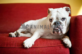 White bulldog relaxing on red couch