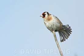 Goldfinch Carduelis carduelis displaying in garden Norfolk spring