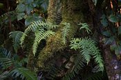 Olympic_NP-ferns-2016_October_02_2016_