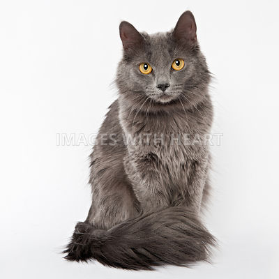 Full body shot of gray cat looking at camera