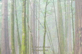 Trees and Morning Fog, Big Basin Redwood State Park, Boulder Creek, CA, USA