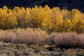 Autumn Sage, Wilows and Aspen