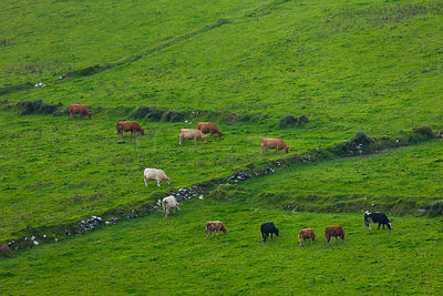 Cattle grazing from Kerry Cliffs, County Kerry, Ireland, Europe. September 2015.