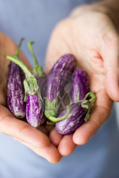 Miniature Fairytale Eggplants in Cupped Hands