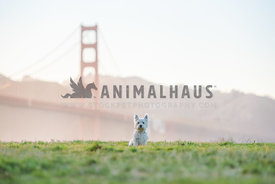 westie sitting in grass with the Golden Gate Bridge in the background