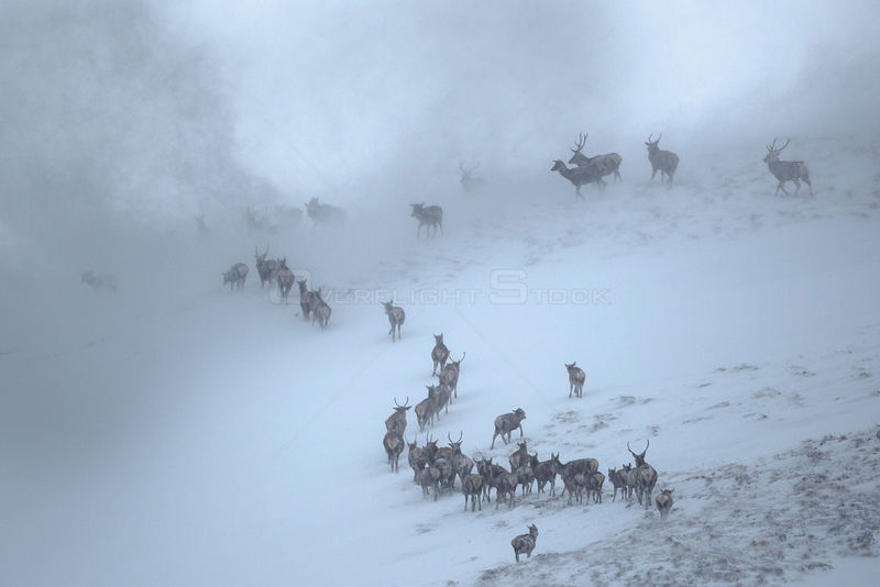 Red Deer herd (Cervus elaphus) moving over mountain ridge in heavy snow. Cairngorms National Park, Scotland. January.
