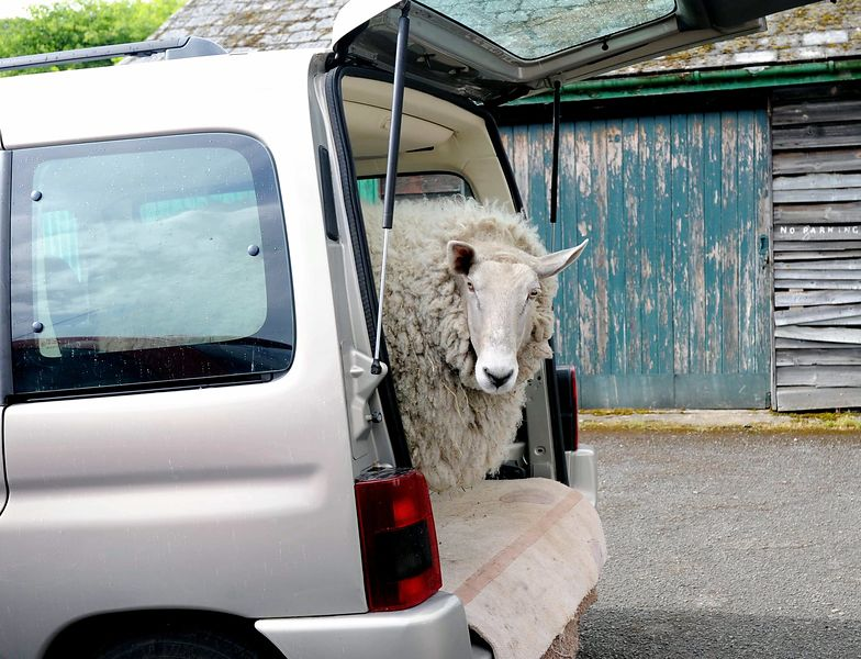 Nick Boing, the  pet sheep, is getting sheared for the summer. Pictured going to be sheared.  Rhiwbina. Picture: Liz Pearce -...
