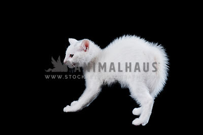 Cute White Kitten Hissing with Back Arched