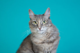 Close-up Studio Portrait of Grey and White Cat with Green Eyes
