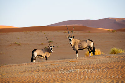 Two Gemsbok (Oryx gazella) standing on pink-orange coloured  sand dunes at sunset, looking at camera