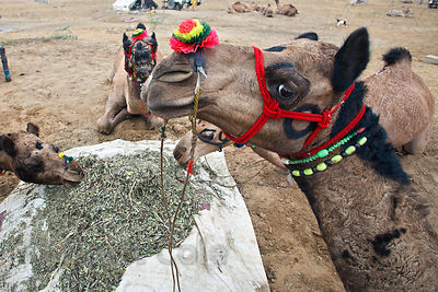 Camels eating at the 2010 Pushkar Camel Fair, Rajasthan, India