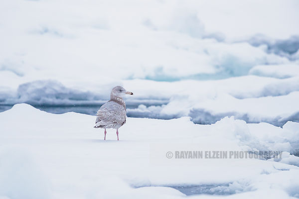 Juvenile glaucous gull standing on an ice flow